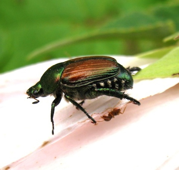 The japanese beetle Popillia japonica feeds on over 300 plants. Climate change might alter its impact on important crop and landscape species. Photo by Nate Lemoine.