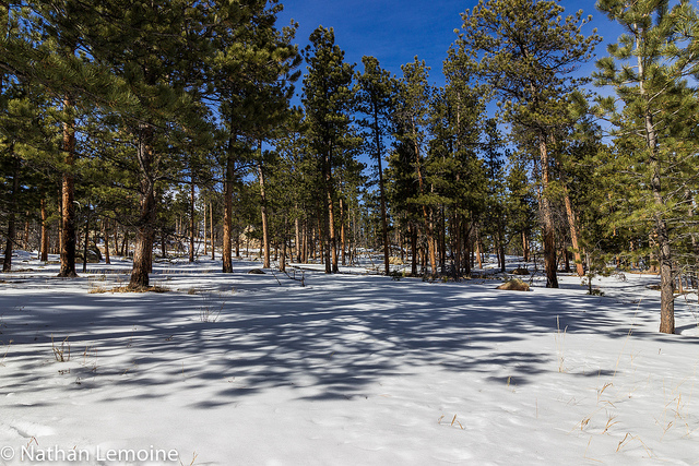 Beneath the snow and dirt lies a vast network of roots and fungi that support this Ponderosa pine forest