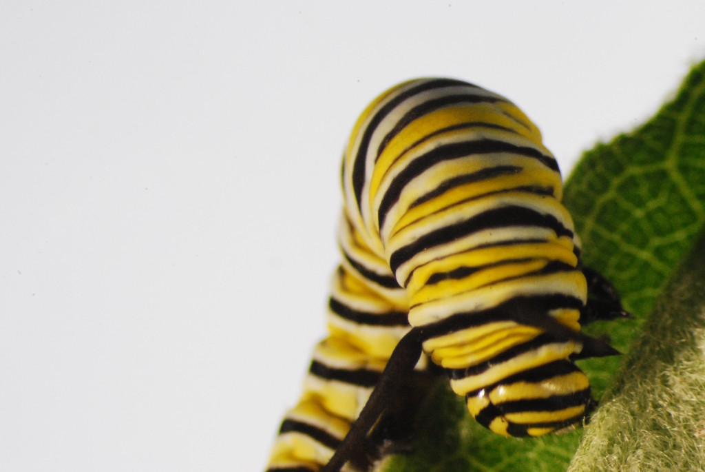 With the use of a microscope, we can photograph monarch caterpillars up close and personal. The monarch caterpillar (Danaus plexippus) in these photos was one of the first caterpillars we caught this season and is now being raised in our lab at the Smithsonian Environmental Research Center in Edgewater, MD. Photo by Dejeanne Doublet